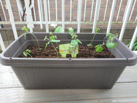 プランターに枝豆の苗を植えました