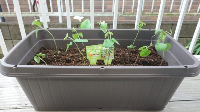 プランターで枝豆を栽培します