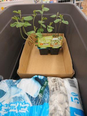 プランター栽培セットです。枝豆の苗、プランター、鉢底石、野菜用培養土。