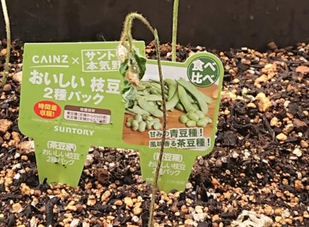 枝豆が枯れてしまいました。水のやりすぎが原因か?
