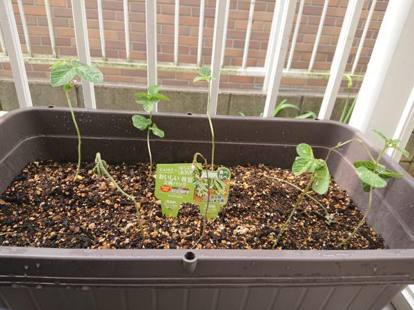 プランターに植えられた枝豆。半分は枯れています。