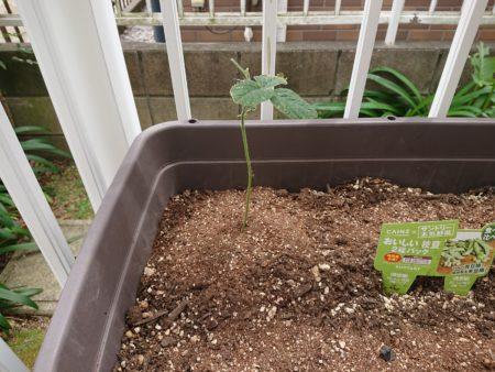 根腐れ、キノコバエ 被害などで弱った枝豆