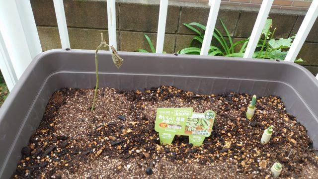 枯れた枝豆と再生ネギ