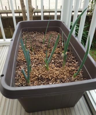 プランターでネギを再生栽培しています