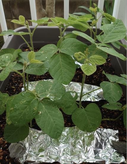 枝豆。虫除けにアルミホイルを敷いてみた。