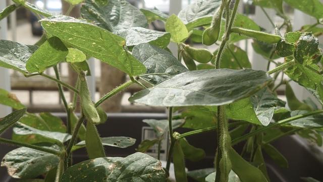 枝豆の実がなりました