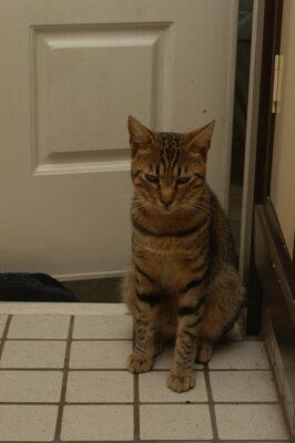ちょっと自信なさげなキジトラの猫。『こつ』です