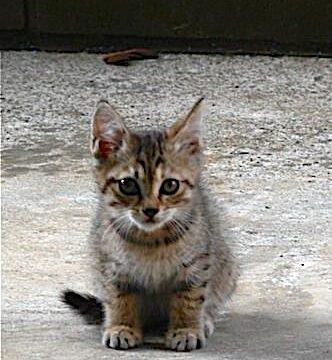 キジトラの猫。我が家のつぶ。